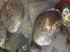 珍珠蚌一般在哪里出现?珍珠蚌会不会吃鱼及开珍珠蚌有什么技巧?